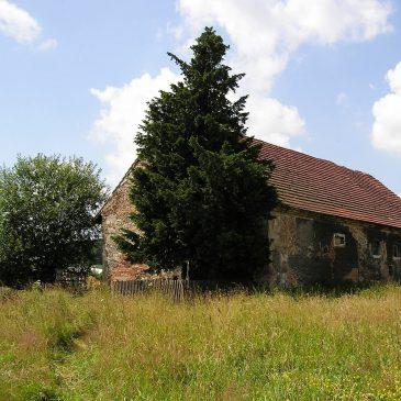 Opowieść o cisie Henryku – najstarszym drzewie i żywym organizmie w Polsce.